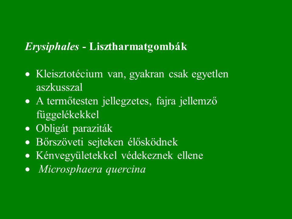 Erysiphales - Lisztharmatgombák  Kleisztotécium van, gyakran csak egyetlen aszkusszal  A termőtesten jellegzetes, fajra jellemző függelékekkel  Obligát paraziták  Bőrszöveti sejteken élősködnek  Kénvegyületekkel védekeznek ellene  Microsphaera quercina