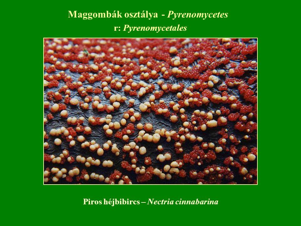 r: Pyrenomycetales Piros héjbibircs – Nectria cinnabarina Maggombák osztálya - Pyrenomycetes