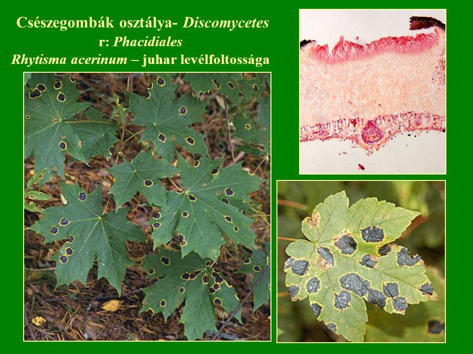 Csészegombák osztálya- Discomycetes r: Phacidiales Rhytisma acerinum – juhar levélfoltossága