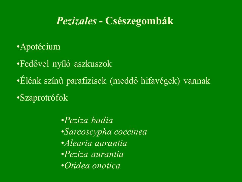 Peziza badia Sarcoscypha coccinea Aleuria aurantia Peziza aurantia Otidea onotica Pezizales - Csészegombák Apotécium Fedővel nyíló aszkuszok Élénk színű parafízisek (meddő hifavégek) vannak Szaprotrófok