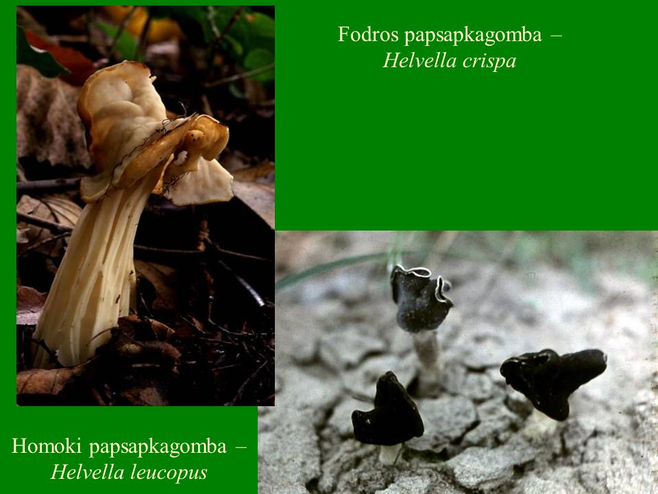 Fodros papsapkagomba – Helvella crispa Homoki papsapkagomba – Helvella leucopus