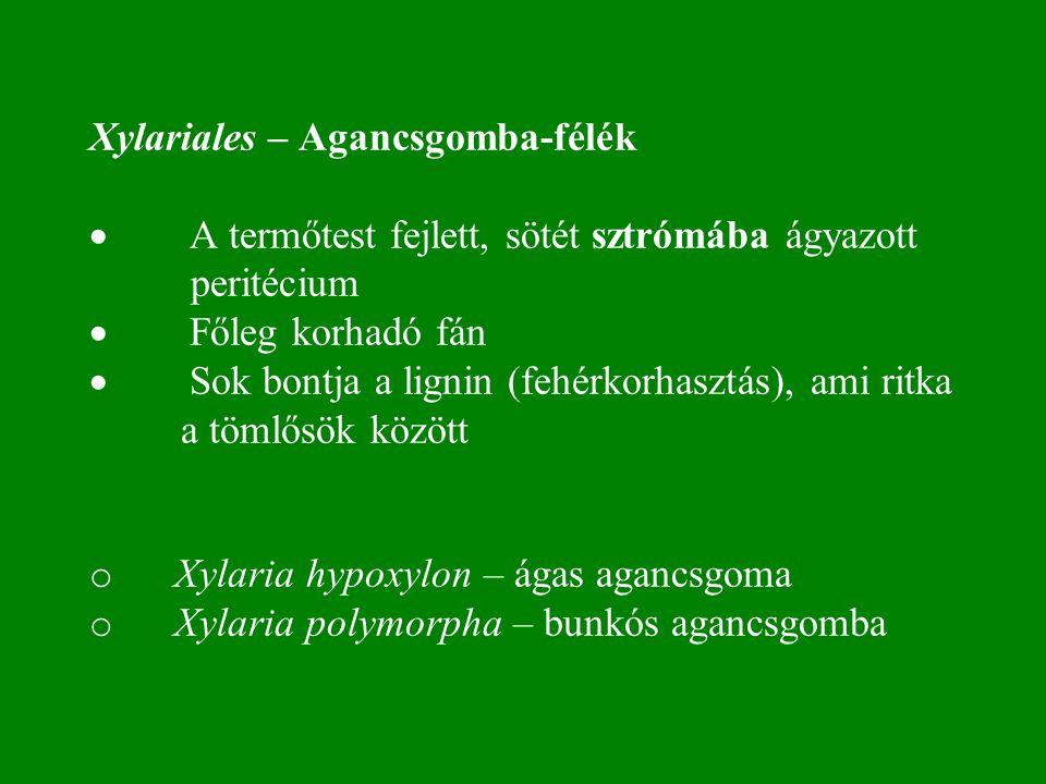 Xylariales – Agancsgomba-félék  A termőtest fejlett, sötét sztrómába ágyazott peritécium  Főleg korhadó fán  Sok bontja a lignin (fehérkorhasztás), ami ritka a tömlősök között o Xylaria hypoxylon – ágas agancsgoma o Xylaria polymorpha – bunkós agancsgomba