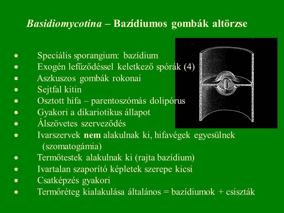  Speciális sporangium: bazídium  Exogén lefűződéssel keletkező spórák (4)  Aszkuszos gombák rokonai  Sejtfal kitin  Osztott hifa – parentoszómás dolipórus  Gyakori a dikariotikus állapot  Álszövetes szerveződés  Ivarszervek nem alakulnak ki, hifavégek egyesülnek (szomatogámia)  Termőtestek alakulnak ki (rajta bazídium)  Ivartalan szaporító képletek szerepe kicsi  Csatképzés gyakori  Termőréteg kialakulása általános = bazídiumok + csiszták Basidiomycotina – Bazídiumos gombák altörzse