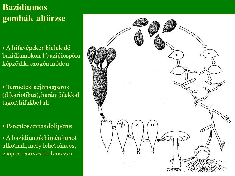 Bazidiumos gombák altörzse A hifavégeken kialakuló bazidiumokon 4 bazidiospóra képződik, exogén módon Termőtest sejtmagpáros (dikariotikus), harántfalakkal tagolt hifákból áll Parentoszómás dolipórus A bazídiumok himéniumot alkotnak, mely lehet ráncos, csapos, csöves ill.
