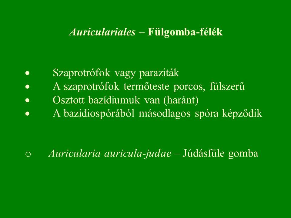  Szaprotrófok vagy paraziták  A szaprotrófok termőteste porcos, fülszerű  Osztott bazídiumuk van (haránt)  A bazídiospórából másodlagos spóra képződik o Auricularia auricula-judae – Júdásfüle gomba Auriculariales – Fülgomba-félék