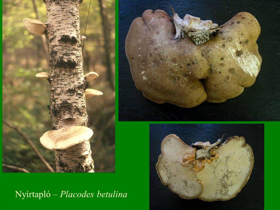 Nyírtapló – Placodes betulina