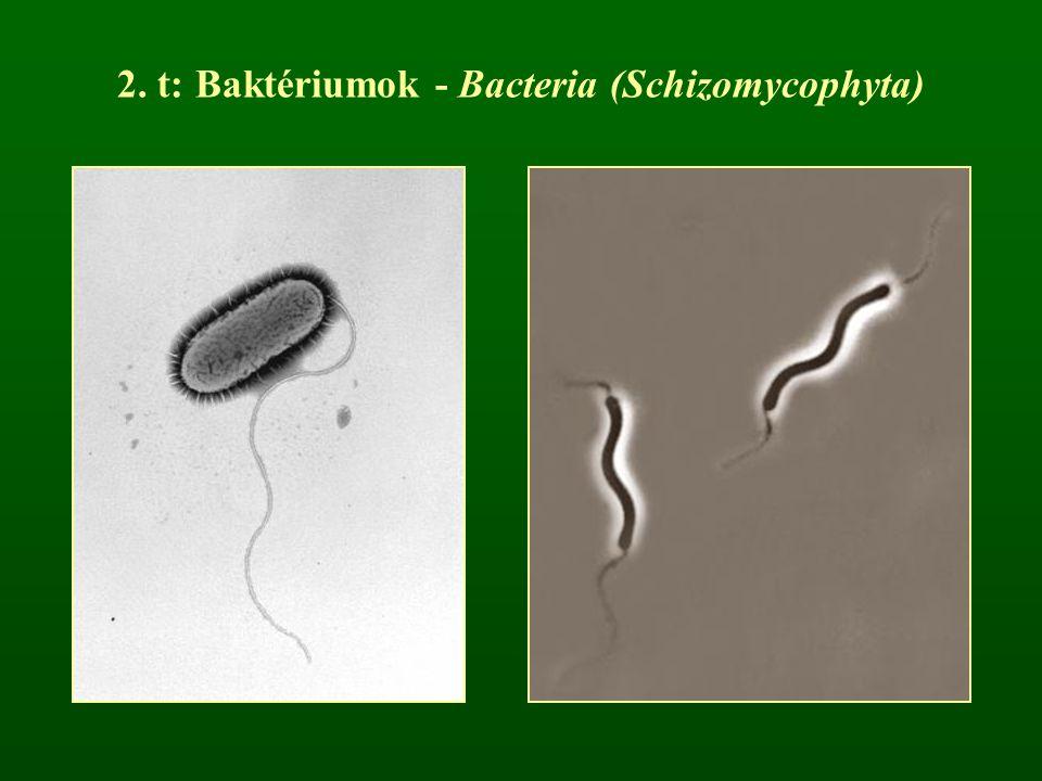 2. t: Baktériumok - Bacteria (Schizomycophyta)