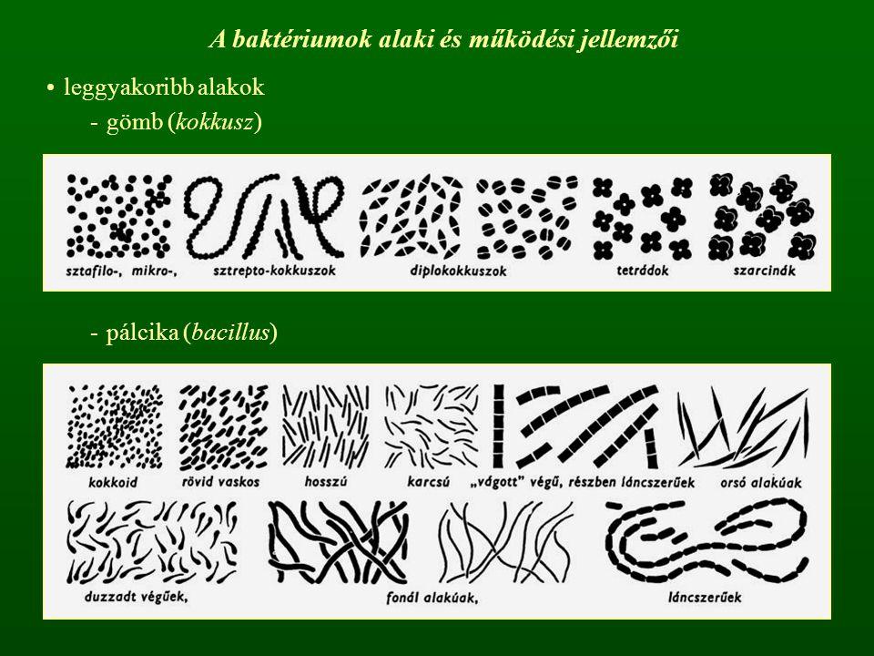 A baktériumok alaki és működési jellemzői leggyakoribb alakok -gömb (kokkusz) -pálcika (bacillus)