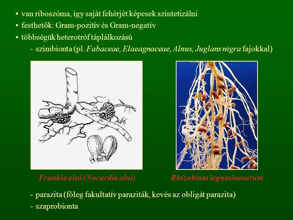 van riboszóma, így saját fehérjét képesek szintetizálni festhetők: Gram-pozitív és Gram-negatív többségük heterotróf táplálkozású -szimbionta (pl. Fab