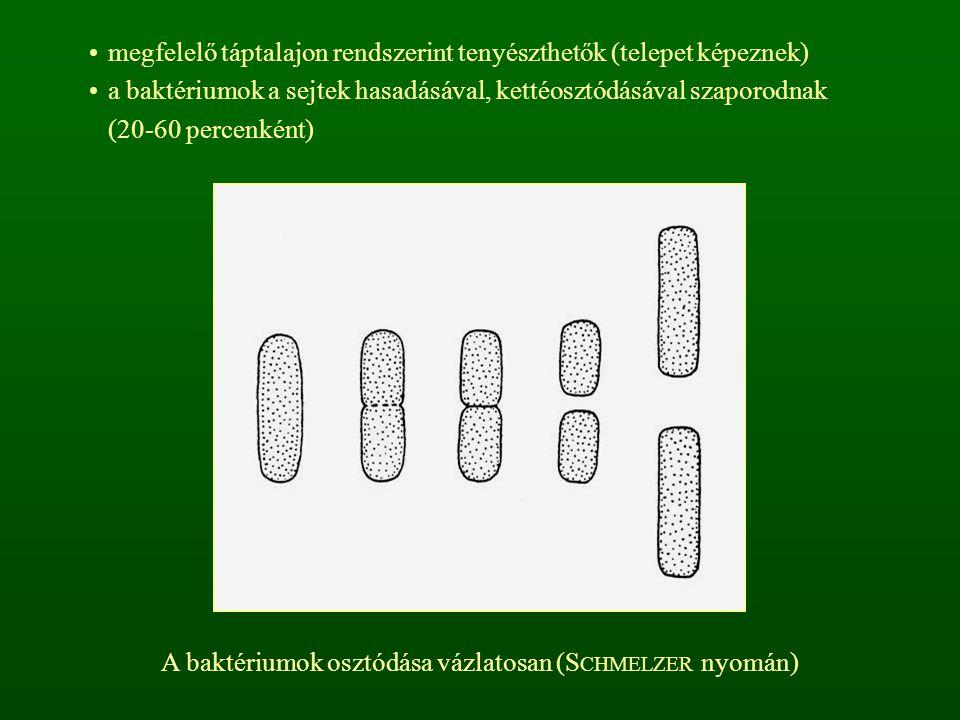 megfelelő táptalajon rendszerint tenyészthetők (telepet képeznek) a baktériumok a sejtek hasadásával, kettéosztódásával szaporodnak (20-60 percenként) A baktériumok osztódása vázlatosan (S CHMELZER nyomán)