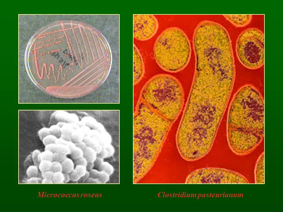 Clostridium pasteurianumMicrococcus roseus