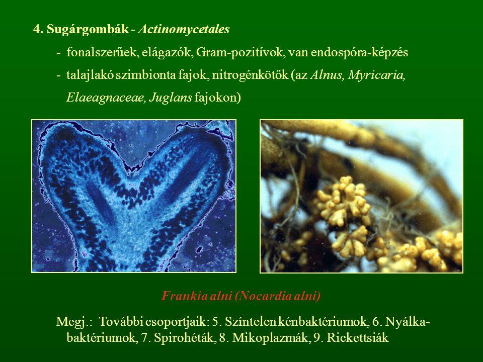 4. Sugárgombák - Actinomycetales -fonalszerűek, elágazók, Gram-pozitívok, van endospóra-képzés -talajlakó szimbionta fajok, nitrogénkötők (az Alnus, M
