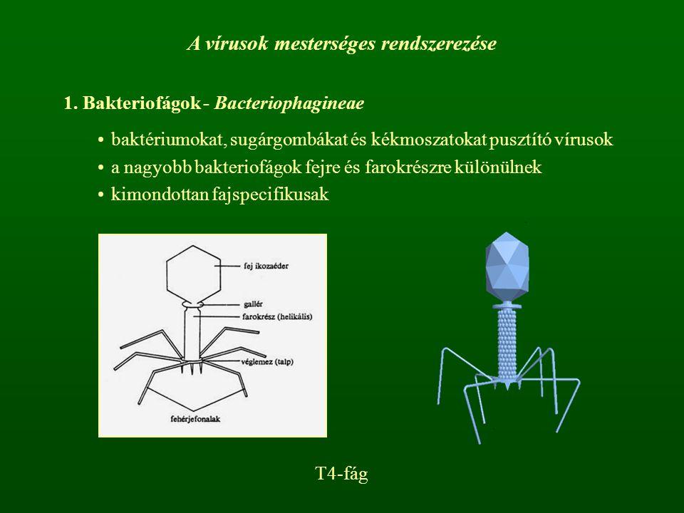 A vírusok mesterséges rendszerezése 1. Bakteriofágok - Bacteriophagineae baktériumokat, sugárgombákat és kékmoszatokat pusztító vírusok a nagyobb bakt