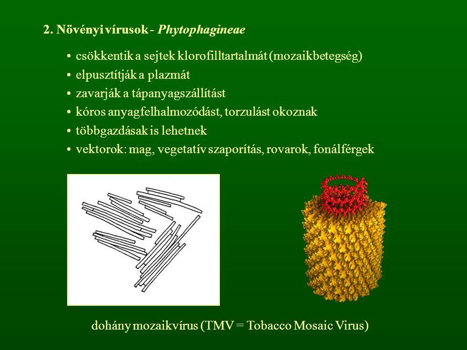 2. Növényi vírusok - Phytophagineae csökkentik a sejtek klorofilltartalmát (mozaikbetegség) elpusztítják a plazmát zavarják a tápanyagszállítást kóros