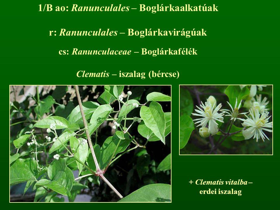 1/B ao: Ranunculales – Boglárkaalkatúak r: Ranunculales – Boglárkavirágúak cs: Ranunculaceae – Boglárkafélék Clematis – iszalag (bércse) + Clematis vi