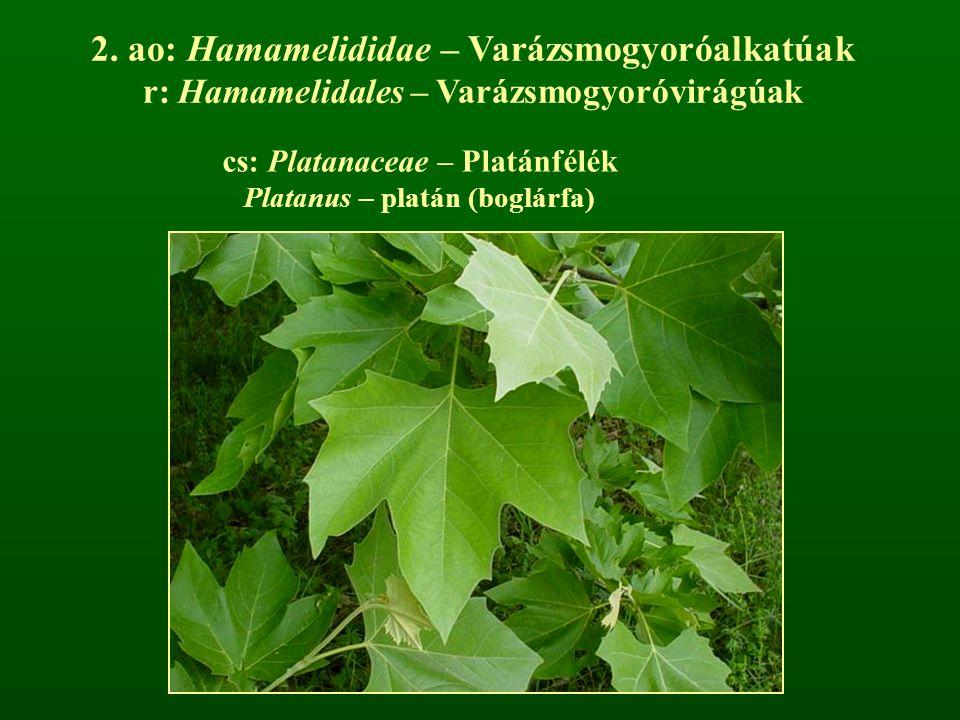 cs: Platanaceae – Platánfélék Platanus – platán (boglárfa) 2. ao: Hamamelididae – Varázsmogyoróalkatúak r: Hamamelidales – Varázsmogyoróvirágúak