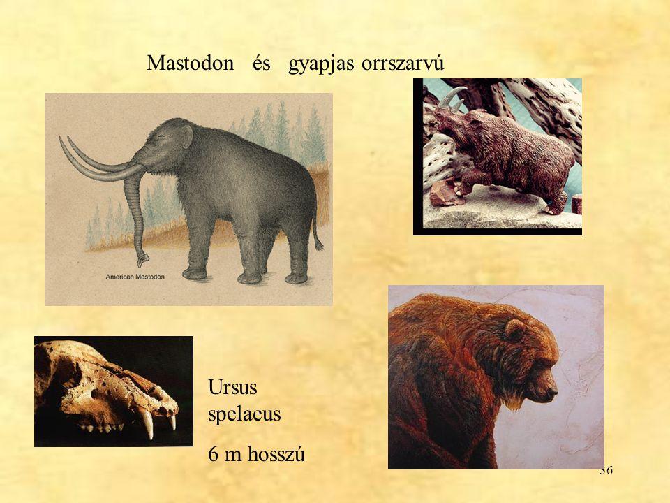 36 Mastodon és gyapjas orrszarvú Ursus spelaeus 6 m hosszú