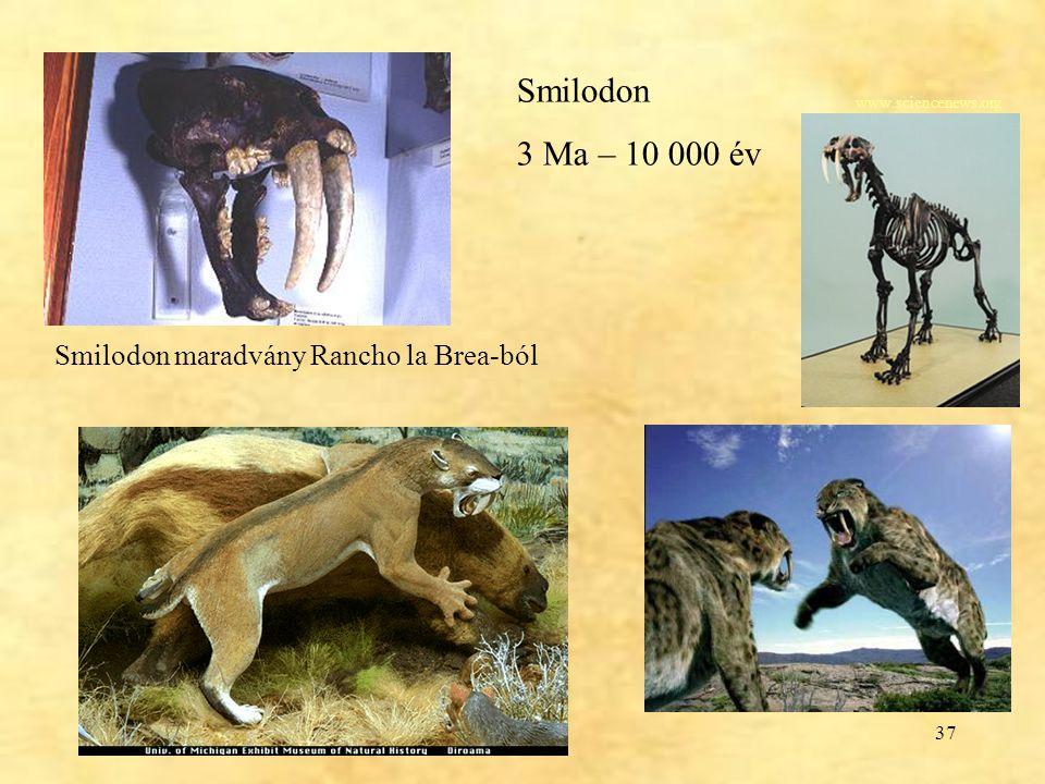 37 Smilodon 3 Ma – 10 000 év Smilodon maradvány Rancho la Brea-ból www.sciencenews.org