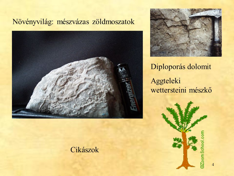 4 Növényvilág: mészvázas zöldmoszatok Diploporás dolomit Aggteleki wettersteini mészkő Cikászok