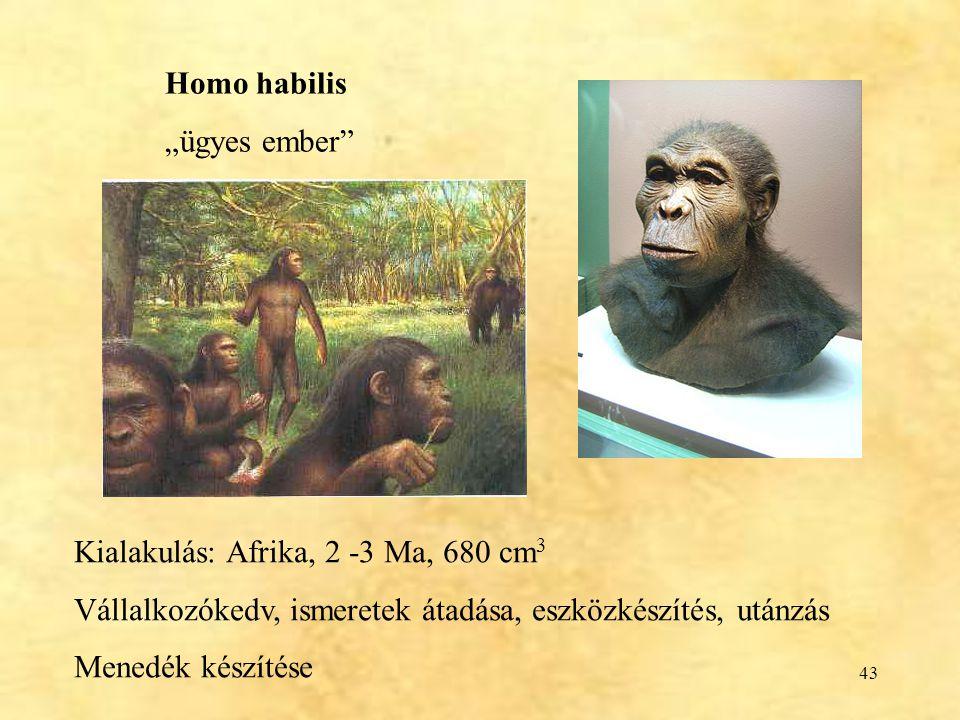 """43 Homo habilis """"ügyes ember"""" Kialakulás: Afrika, 2 -3 Ma, 680 cm 3 Vállalkozókedv, ismeretek átadása, eszközkészítés, utánzás Menedék készítése"""