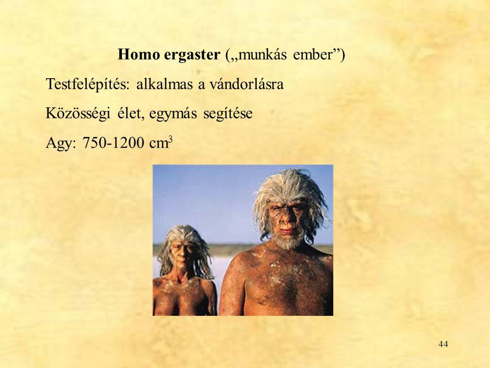 """44 Homo ergaster (""""munkás ember"""") Testfelépítés: alkalmas a vándorlásra Közösségi élet, egymás segítése Agy: 750-1200 cm 3"""