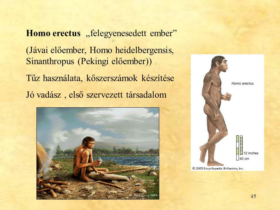 """45 Homo erectus """"felegyenesedett ember"""" (Jávai előember, Homo heidelbergensis, Sinanthropus (Pekingi előember)) Tűz használata, kőszerszámok készítése"""