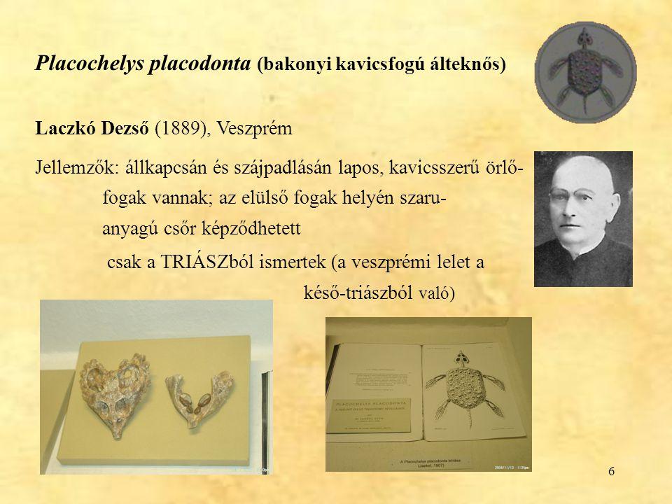 6 Placochelys placodonta (bakonyi kavicsfogú álteknős) Laczkó Dezső (1889), Veszprém Jellemzők: állkapcsán és szájpadlásán lapos, kavicsszerű örlő- fo
