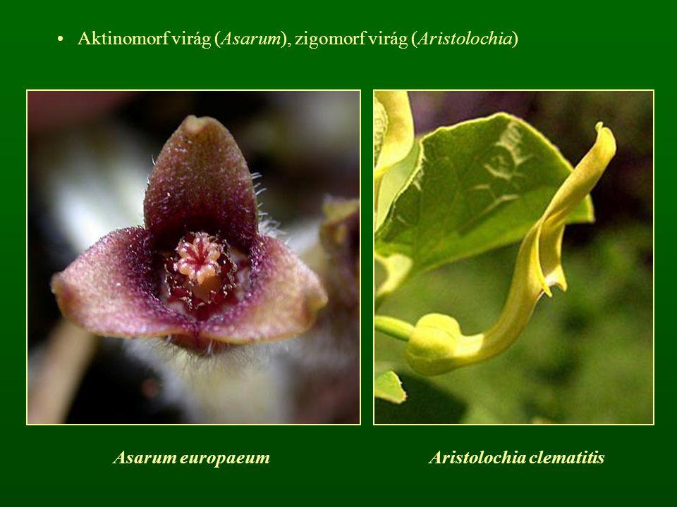 Aktinomorf virág (Asarum), zigomorf virág (Aristolochia) Asarum europaeumAristolochia clematitis
