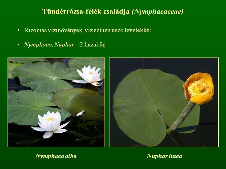 Tündérrózsa-félék családja (Nymphaeaceae) Rizómás vízinövények, víz színén úszó levelekkel Nymphaea, Nuphar – 2 hazai faj Nymphaea albaNuphar lutea