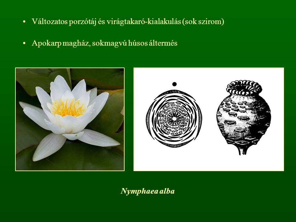 Nymphaea alba Változatos porzótáj és virágtakaró-kialakulás (sok szirom) Apokarp magház, sokmagvú húsos áltermés