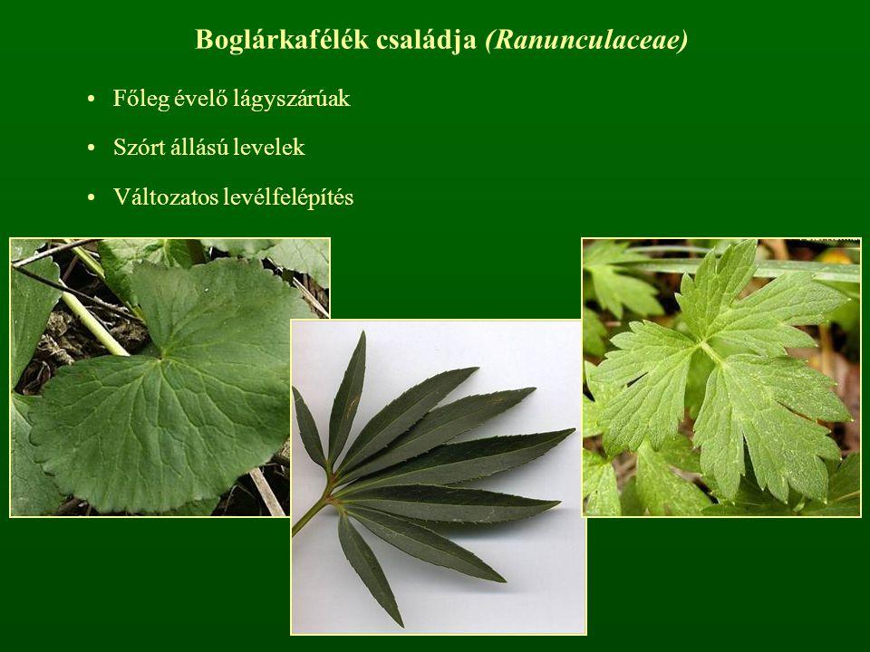 Boglárkafélék családja (Ranunculaceae) Főleg évelő lágyszárúak Szórt állású levelek Változatos levélfelépítés