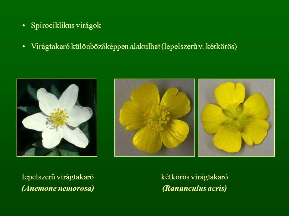 Spirociklikus virágok Virágtakaró különbözőképpen alakulhat (lepelszerű v. kétkörös) lepelszerű virágtakaró (Anemone nemorosa) kétkörös virágtakaró (R