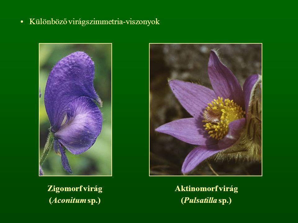 Különböző virágszimmetria-viszonyok Zigomorf virág (Aconitum sp.) Aktinomorf virág (Pulsatilla sp.)