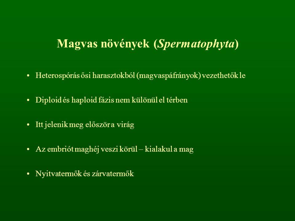 Magvas növények (Spermatophyta) Heterospórás ősi harasztokból (magvaspáfrányok) vezethetők le Diploid és haploid fázis nem különül el térben Itt jelen
