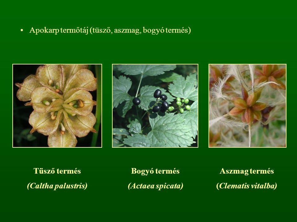 Apokarp termőtáj (tüsző, aszmag, bogyó termés) Tüsző termés (Caltha palustris) Bogyó termés (Actaea spicata) Aszmag termés (Clematis vitalba)