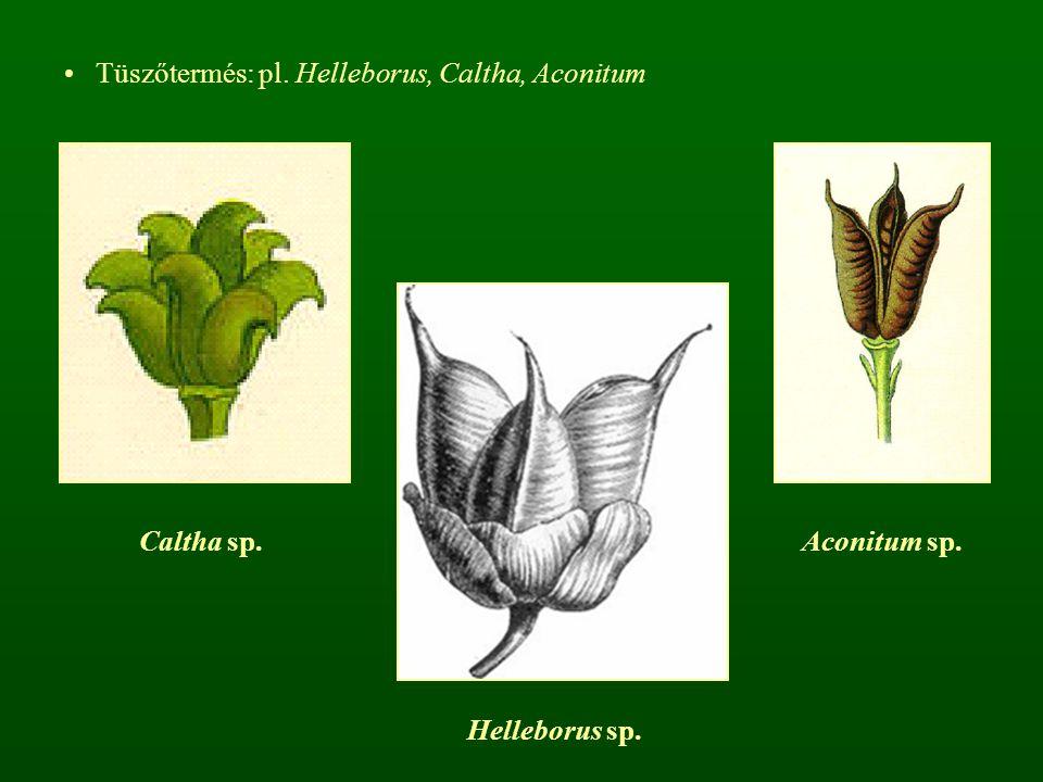 Tüszőtermés: pl. Helleborus, Caltha, Aconitum Caltha sp.Aconitum sp. Helleborus sp.