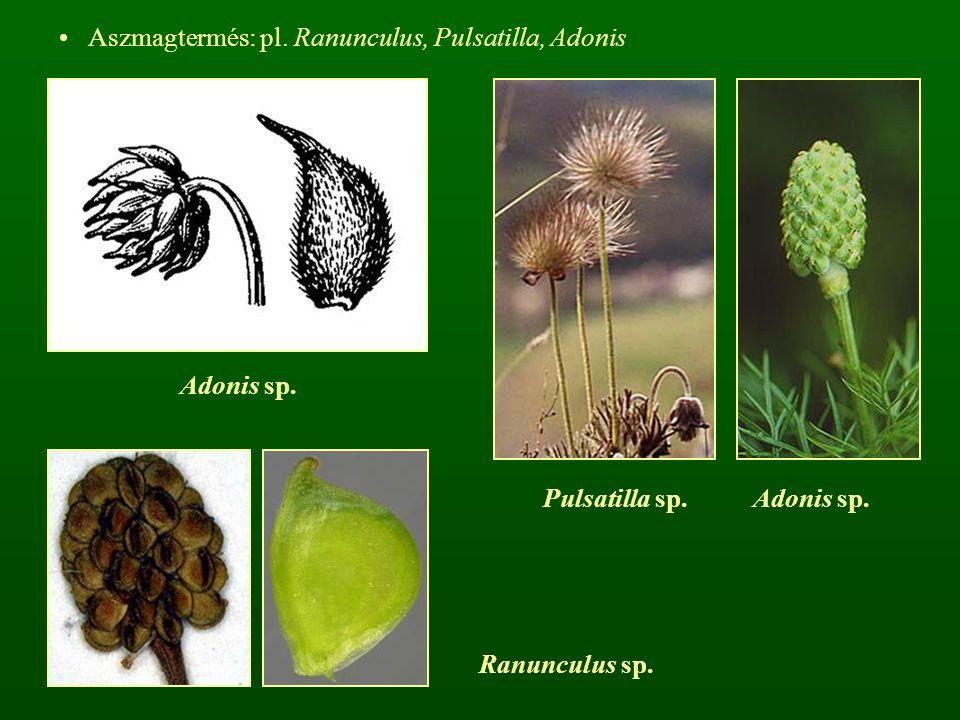 Aszmagtermés: pl. Ranunculus, Pulsatilla, Adonis Adonis sp. Ranunculus sp. Pulsatilla sp. Adonis sp.
