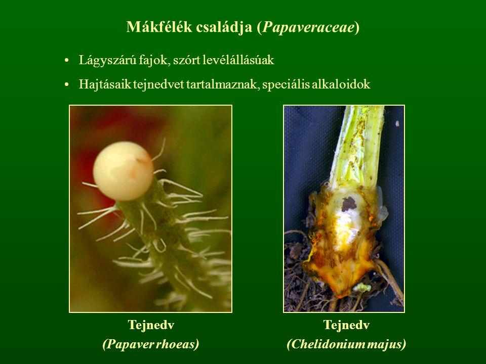 Mákfélék családja (Papaveraceae) Lágyszárú fajok, szórt levélállásúak Hajtásaik tejnedvet tartalmaznak, speciális alkaloidok Tejnedv (Papaver rhoeas)