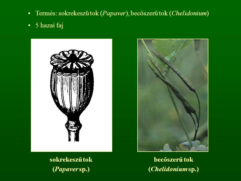 Termés: sokrekeszű tok (Papaver), becőszerű tok (Chelidonium) 5 hazai faj sokrekeszű tok (Papaver sp.) becőszerű tok (Chelidonium sp.)