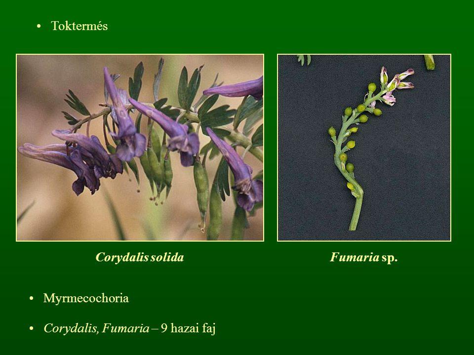 Toktermés Corydalis solidaFumaria sp. Myrmecochoria Corydalis, Fumaria – 9 hazai faj