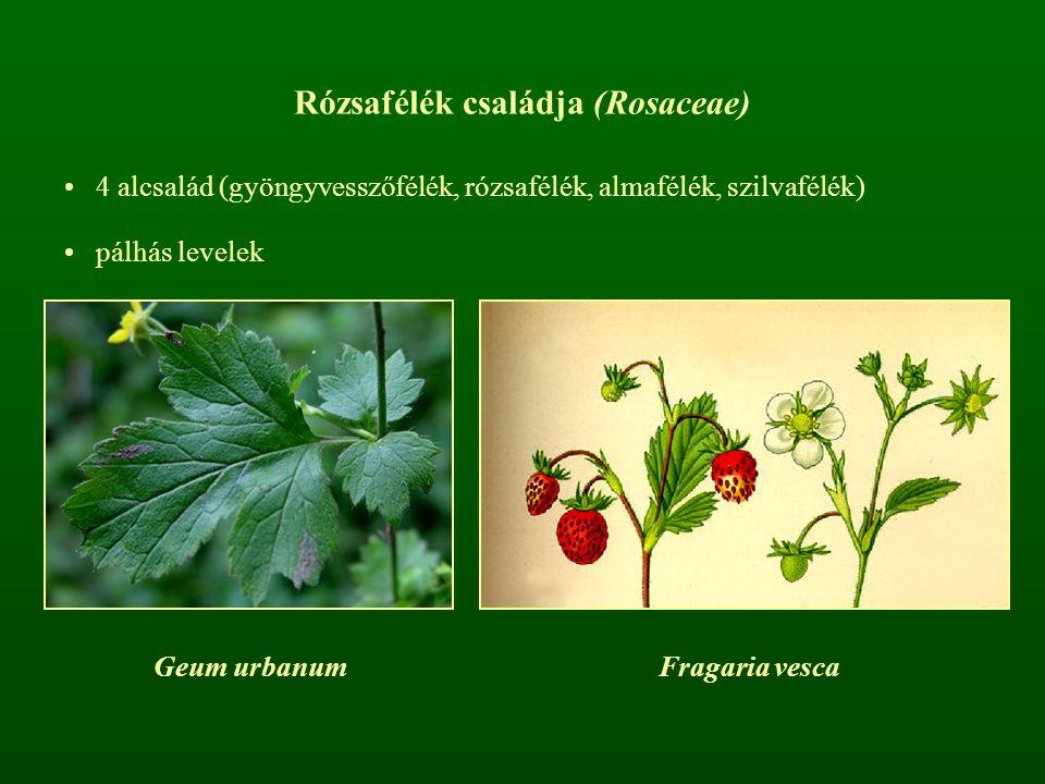 Rózsafélék családja (Rosaceae) 4 alcsalád (gyöngyvesszőfélék, rózsafélék, almafélék, szilvafélék) pálhás levelek Geum urbanumFragaria vesca