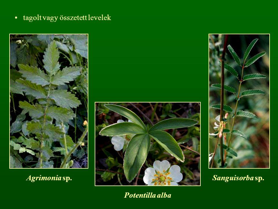 tagolt vagy összetett levelek Agrimonia sp.Sanguisorba sp. Potentilla alba