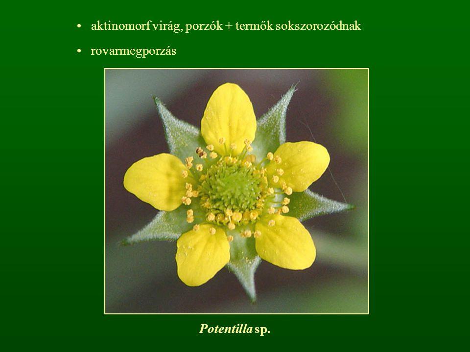 aktinomorf virág, porzók + termők sokszorozódnak rovarmegporzás Potentilla sp.