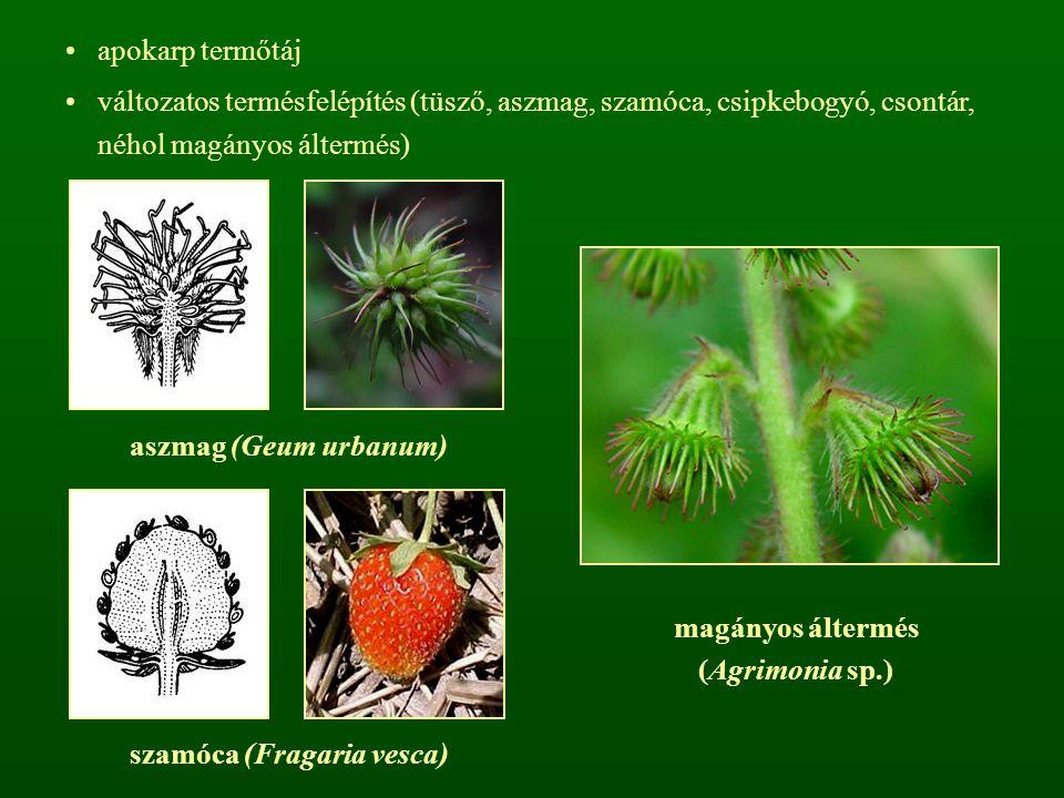 apokarp termőtáj változatos termésfelépítés (tüsző, aszmag, szamóca, csipkebogyó, csontár, néhol magányos áltermés) magányos áltermés (Agrimonia sp.)