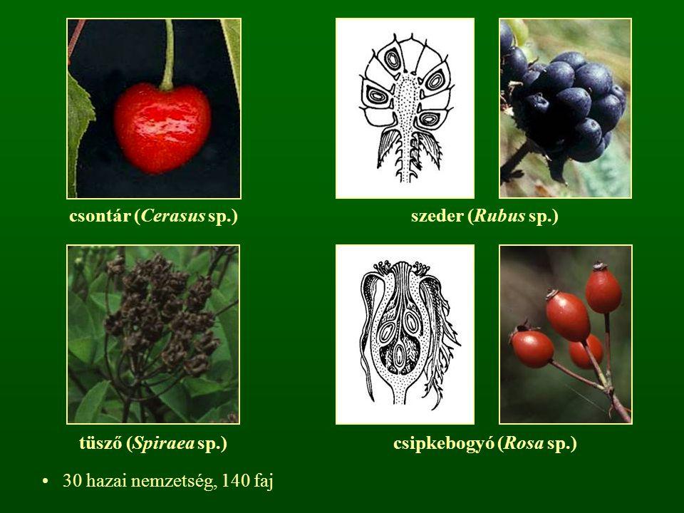 csontár (Cerasus sp.)szeder (Rubus sp.) tüsző (Spiraea sp.)csipkebogyó (Rosa sp.) 30 hazai nemzetség, 140 faj