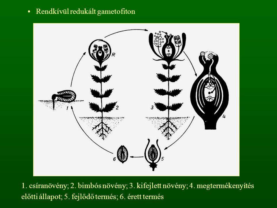 Rendkívül redukált gametofiton 1. csíranövény; 2. bimbós növény; 3. kifejlett növény; 4. megtermékenyítés előtti állapot; 5. fejlődő termés; 6. érett