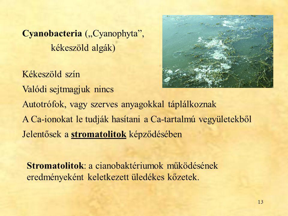 """13 Cyanobacteria (""""Cyanophyta"""", kékeszöld algák) Kékeszöld szín Valódi sejtmagjuk nincs Autotrófok, vagy szerves anyagokkal táplálkoznak A Ca-ionokat"""