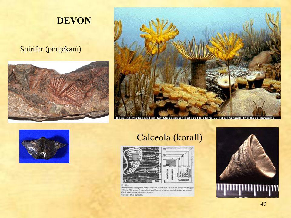 40 DEVON Spirifer (pörgekarú) Calceola (korall)