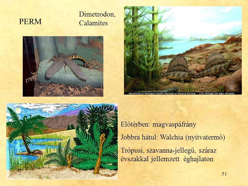 51 PERM Dimetrodon, Calamites Előtérben: magvaspáfrány Jobbra hátul: Walchia (nyitvatermő) Trópusi, szavanna-jellegű, száraz évszakkal jellemzett égha