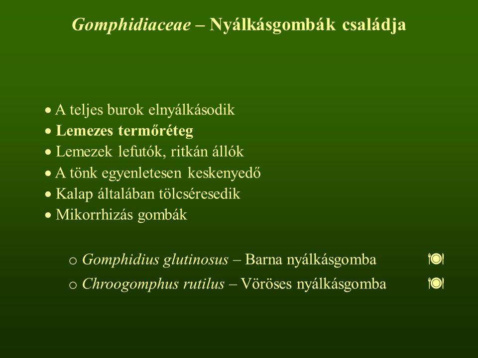 Barna nyálkásgomba – Gomphidius glutinosus Kalapja 5-10 cm átmérőjű; szürkés-, csokoládébarna, gyakran foltok tarkítják; felülete nyálkás.